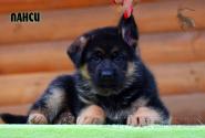02_Puppies_Vest_Urma_LANSI