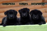 03_Puppies_Vest_Urma_LAMBRUSKA_LAMIRA_LOTARINGIYA