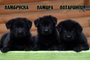 04_Puppies_Vest_Urma_LAMBRUSKA_LAMIRA_LOTARINGIYA