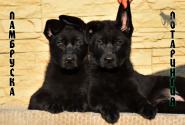 06_Puppies_Vest_Urma_LAMBRUSKA_LOTARINGIYA