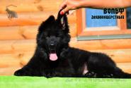 01_Puppies_Uragan_Valterra_VOLF_LH