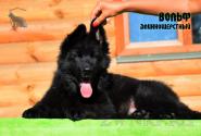 02_Puppies_Uragan_Valterra_VOLF_LH