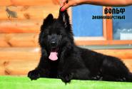 03_Puppies_Uragan_Valterra_VOLF_LH
