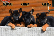 23_Puppies_Billy_Adriana_SAFARI_SAMBA_SANEL
