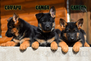 24_Puppies_Billy_Adriana_SAFARI_SAMBA_SANEL