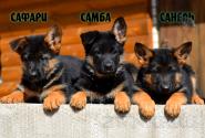 25_Puppies_Billy_Adriana_SAFARI_SAMBA_SANEL