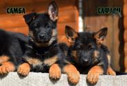 26_Puppies_Billy_Adriana_SAMBA_SAFARI