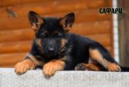 27_Puppies_Billy_Adriana_SAFARI