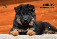 30_Puppies_Billy_Adriana_SNIKERS_LH