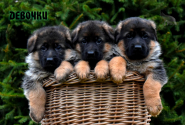 03_Puppies_Yamaguchi_Yunita_GIRLS