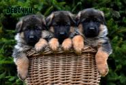 04_Puppies_Yamaguchi_Yunita_GIRLS