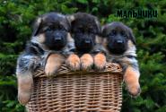 06_Puppies_Yamaguchi_Yunita_BOYS