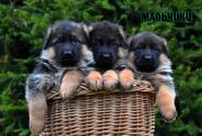 07_Puppies_Yamaguchi_Yunita_BOYS