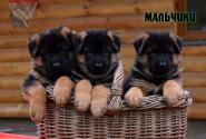 10_Puppies_Billy_Ferlanda_BOYS