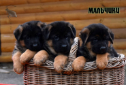 11_Puppies_Billy_Ferlanda_BOYS