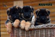 12_Puppies_Billy_Ferlanda_BOYS