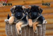 07_Puppies_JV_Nikita_FIGARO_FANSI