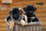 08_Puppies_JV_Nikita_FIGARO_FANSI