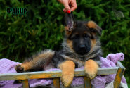 12_Puppies_JV_Nikita_FAKIR