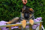 13_Puppies_JV_Nikita_FAKIR
