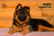 17_Puppies_JV_Nikita_FAJRA_LH