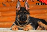 19_Puppies_JV_Nikita_FIGARO