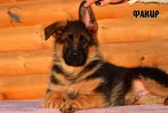 20_Puppies_JV_Nikita_FAKIR