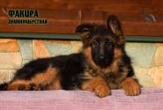 22_Puppies_JV_Nikita_FAKIRA_LH