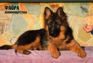 24_Puppies_JV_Nikita_FAJRA_LH
