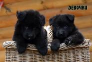 01_Puppies_Uragan_Eseniya_GIRLS_ST_LH