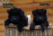 02_Puppies_Uragan_Eseniya_GIRLS_ST_LH