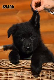03_Puppies_Uragan_Eseniya_VUAL