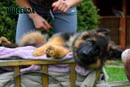01_Puppies_Billy_Ceremoniya_SHISEJDA_LH