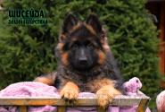 02_Puppies_Billy_Ceremoniya_SHISEJDA_LH