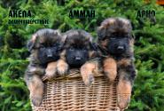 01_Puppies_Garry_AKELA_AMMAN_ARNO_LH