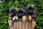 02_Puppies_Garry_AKELA_AMMAN_ARNO_LH