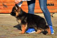 06_Puppies_Garry_AKELA_LH