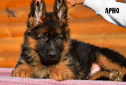07_Puppies_Garry_ARNO_LH