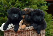09_Puppies_Garry_Zambiya_GIRLS