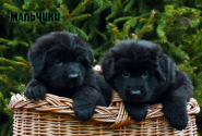 12_Puppies_Garry_Zambiya_BOYS