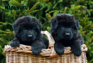 13_Puppies_Garry_Zambiya_BOYS