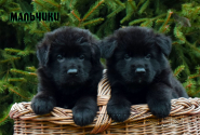 16_Puppies_Garry_Zambiya_BOYS