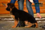 18_Puppies_Garry_Zambiya_IVANKA_LH