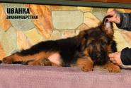 19_Puppies_Garry_Zambiya_IVANKA_LH