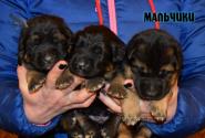 04_Puppies_Uragan_Udachnaya_BOYS