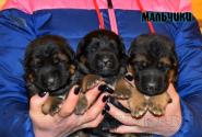 05_Puppies_Uragan_Udachnaya_BOYS