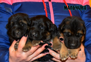06_Puppies_Uragan_Udachnaya_BOYS