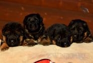 07_Puppies_Uragan_Udachnaya_BG