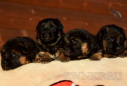 08_Puppies_Uragan_Udachnaya_BG
