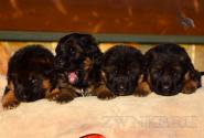 09_Puppies_Uragan_Udachnaya_BG